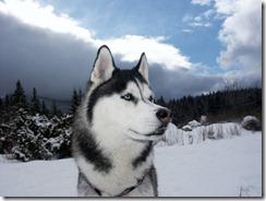 siberian-husky