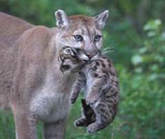 cougar3
