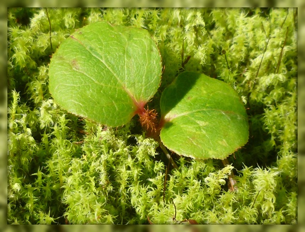 Moss with Salal