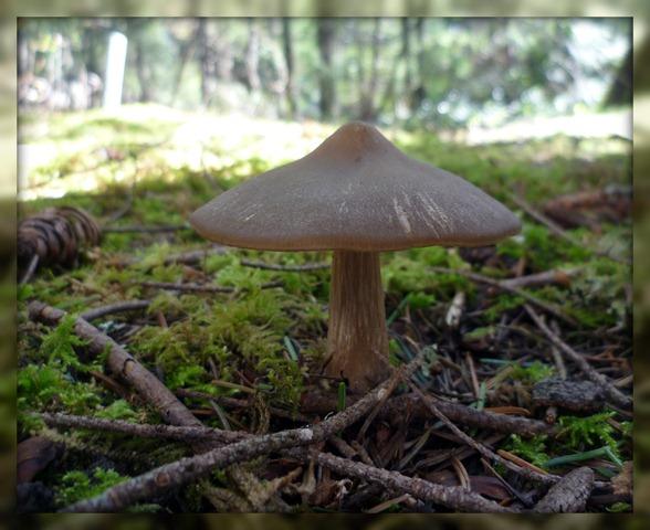 Mushroom large