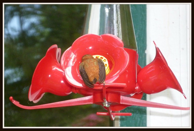 Humming Bird Drinking