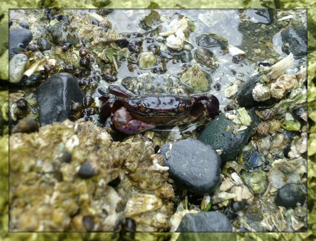 Field Trip Purple Shore Crab