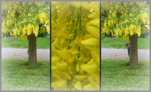 Golden Chain Tree Collage