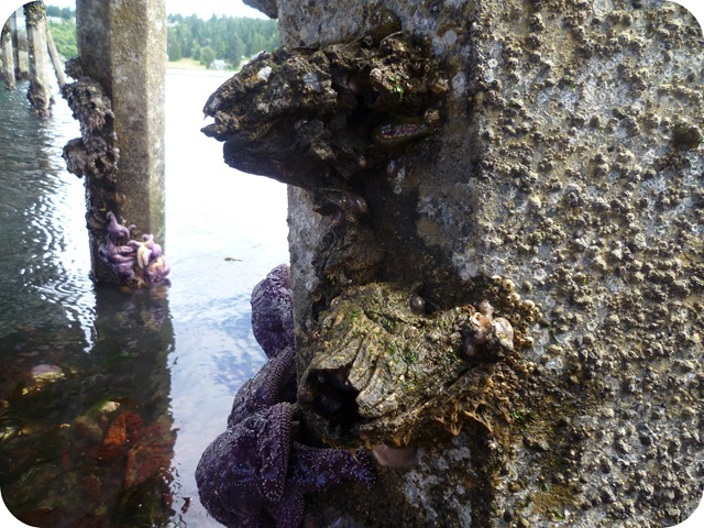 Low tide big barnacles