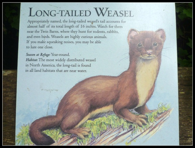 Nisqually Weasels