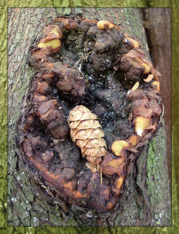 Bits of Fall - pinecone in Madrona tree